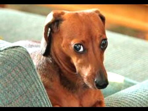 Funny-Guilty-Dog-Videos-Compilation-2016-BEST-OF.jpg